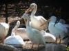 pelican-300x167