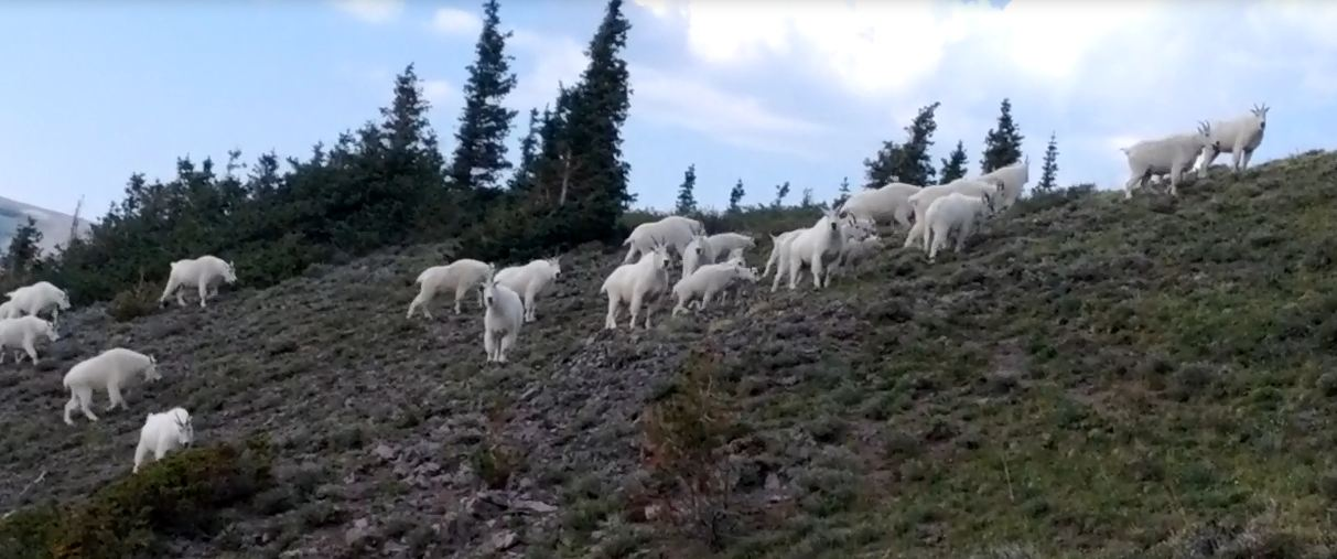 Digiscoping mountain goat