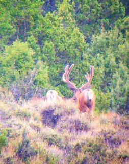 Digiscoped buck