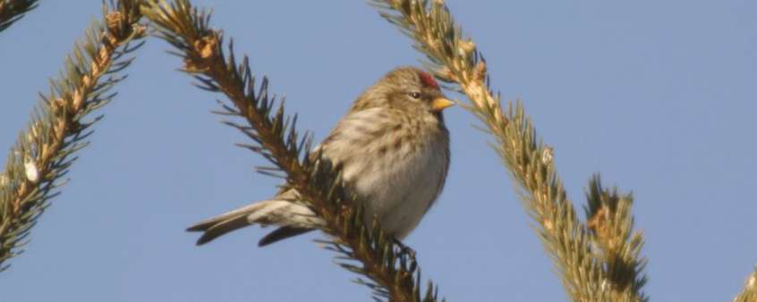 Digiscoping Common Redpoll