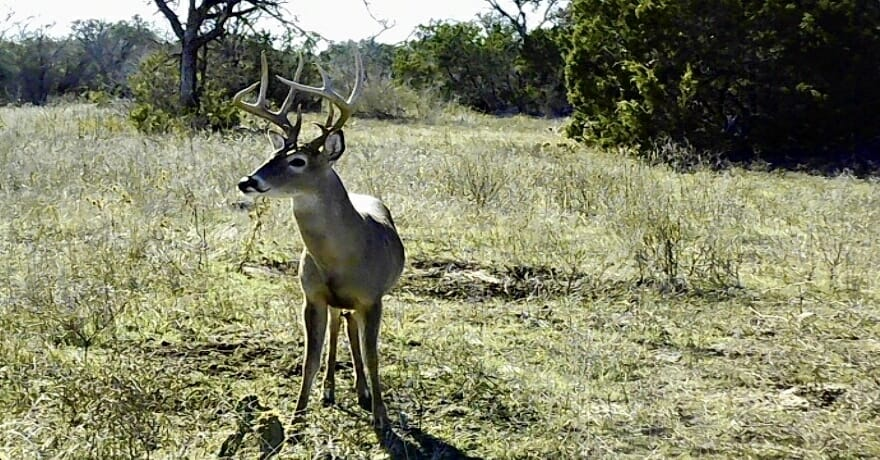 Phone Skope image of a whitetail buck.