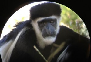 Monkey spotted with digiscope
