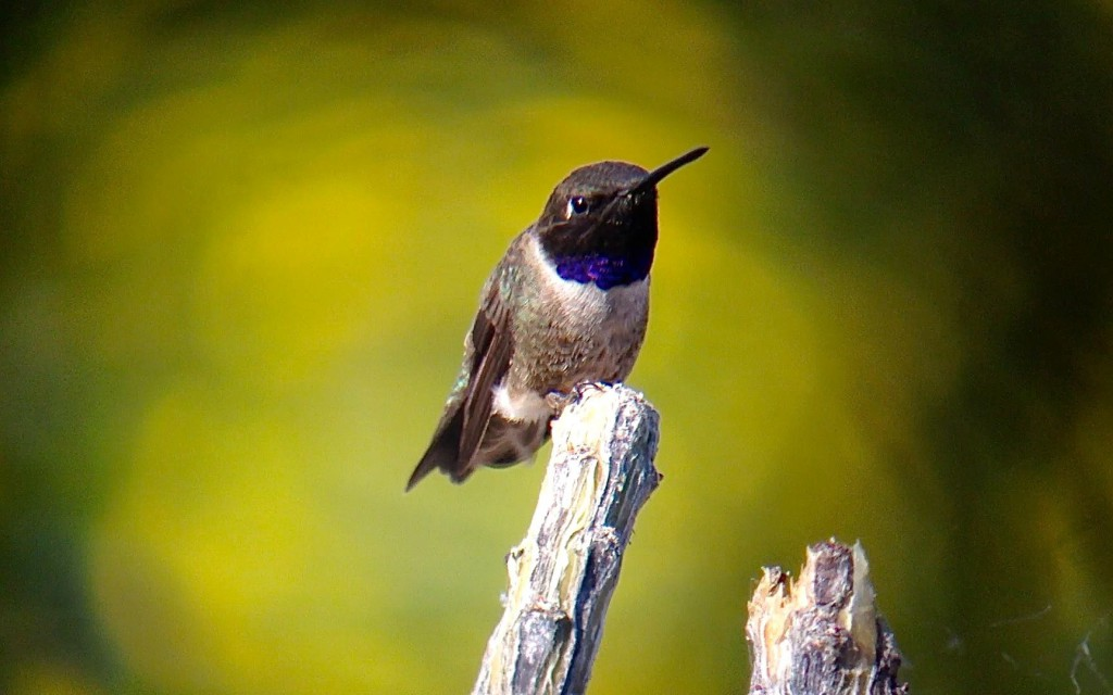 Black-chinned Hummingbird in Blythe, CA. Digiscoped with a iPhone 4s + Celestron Regal M2 80ED & Phone Skope Adapter. iPhone photo by Tim Schreckengost.