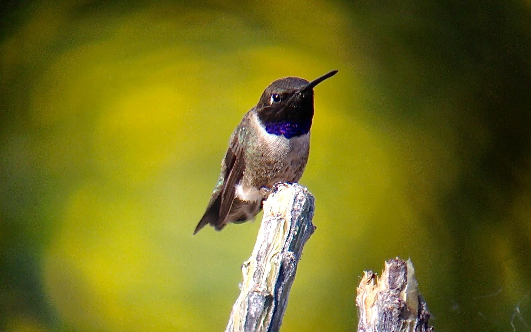 Black Chinned Hummingbird bird identification
