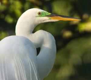 Beautiful shot of a Great Egret