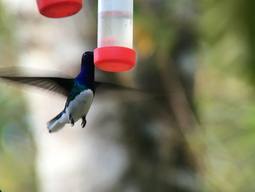 Digiscoping a Hummingbird
