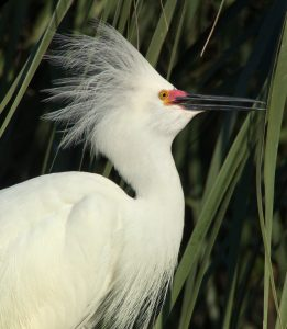 Digiscoped Snowy Egret