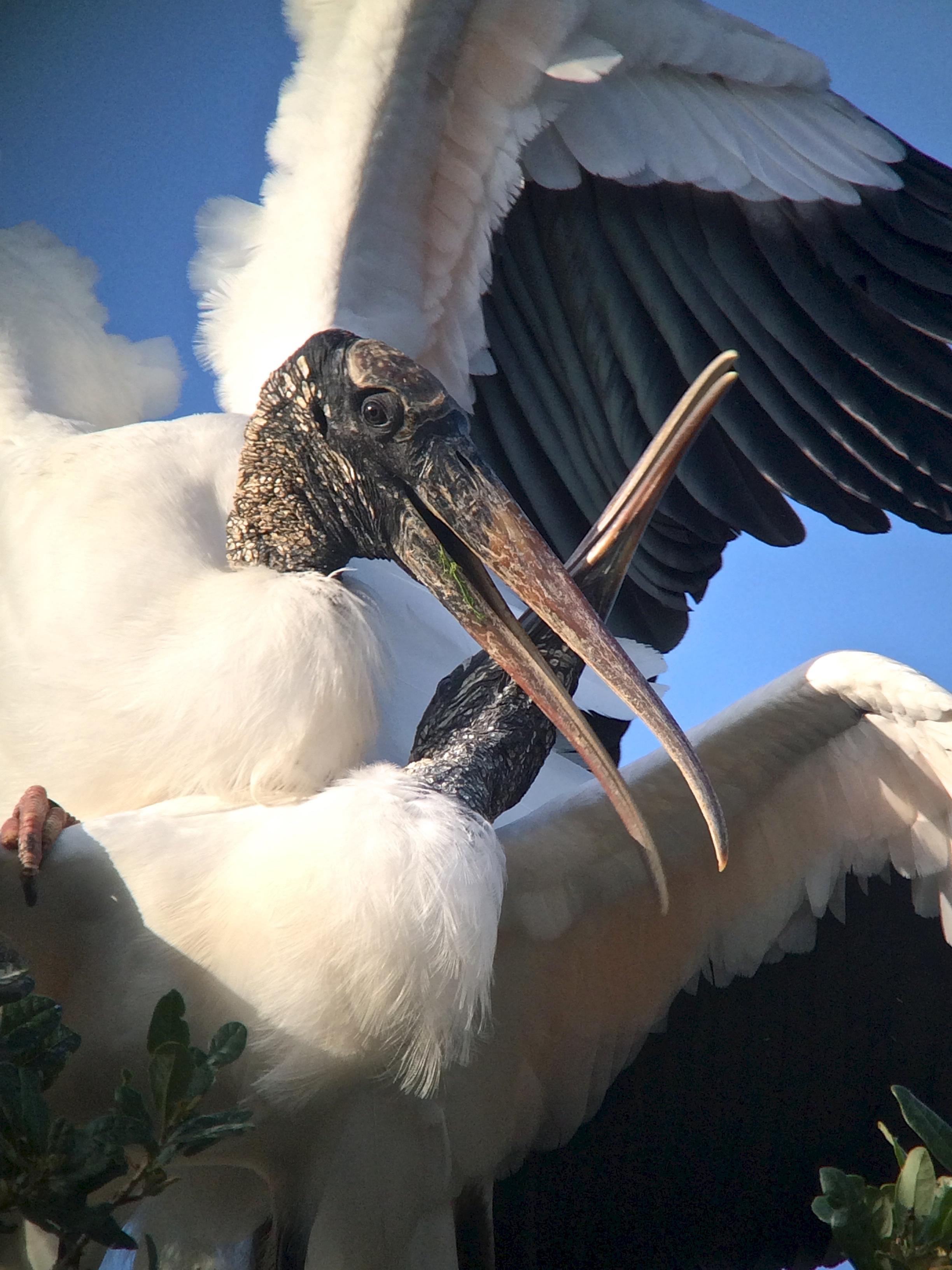 Birding for Wood Stork