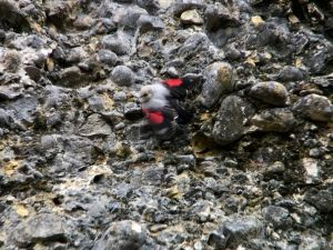 Bird watching Wallcreeper