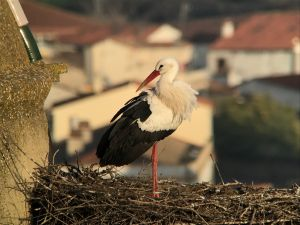 Digiscoped white stork in Trujillo