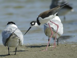 Shorebird photography