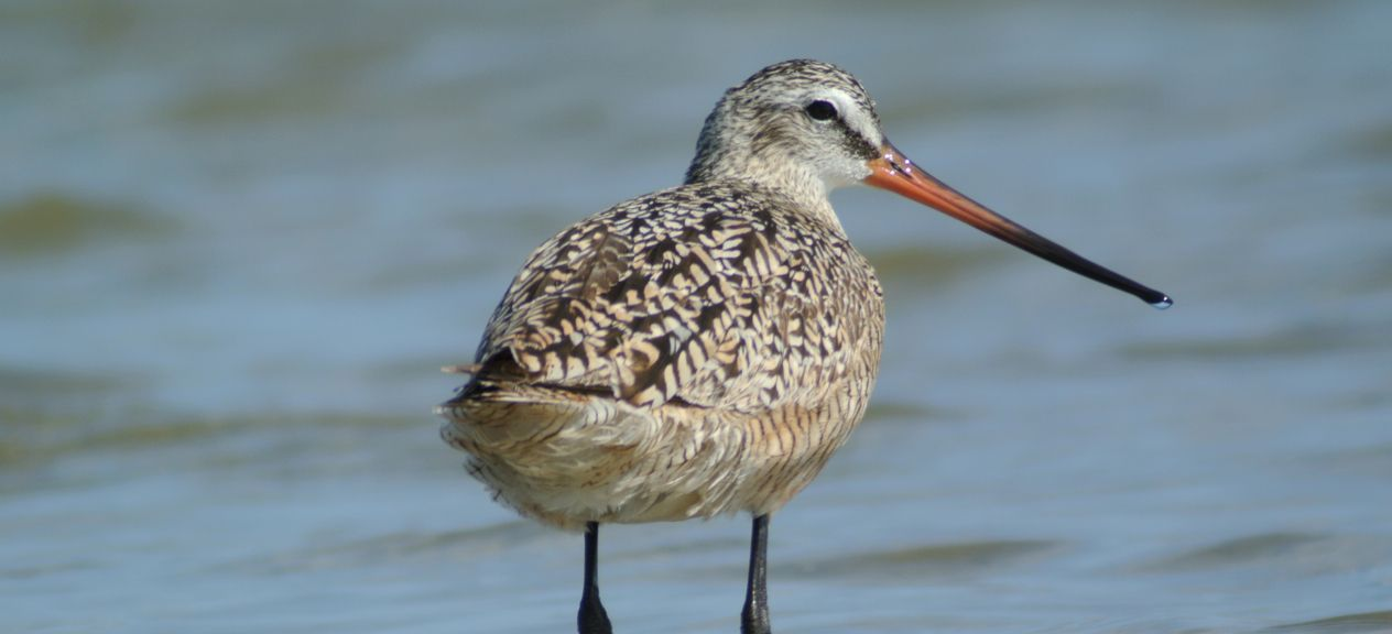 Digiscoping for Shorebirds