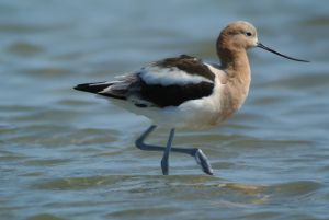 How to get an Avocet