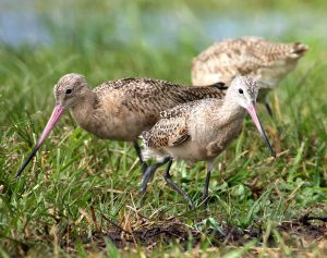 Photographing Godwits