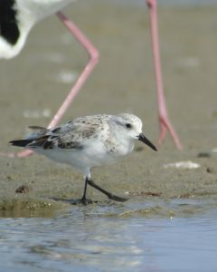 Watching a Sanderling walk with digiscope