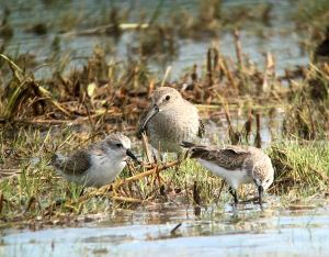 Photographing dunlin and westerns
