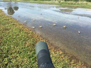 Digiscoping shorebirds