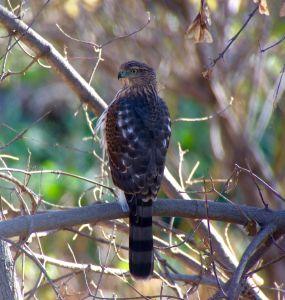 Spotting a Cooper's Hawk