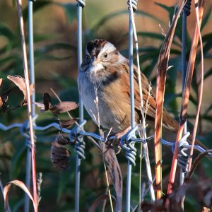 Spotting a Swamp Sparrow with a Digiscope