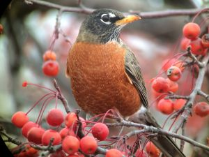 Digiscoping an American Robin