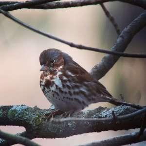 Digiscoping Fox Sparrow