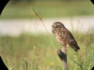 Digiscoping Cape Coral Burrowing Owls
