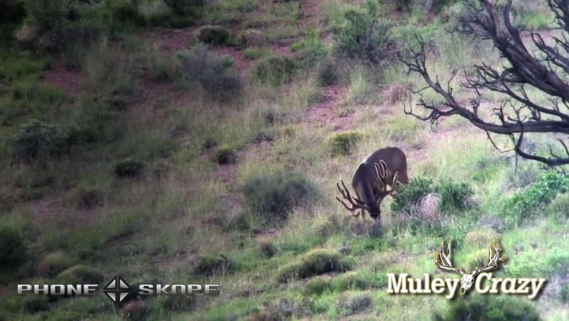 Digiscoping Mule Deer