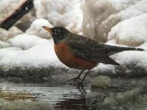 Digiscoping Blizzard Robin
