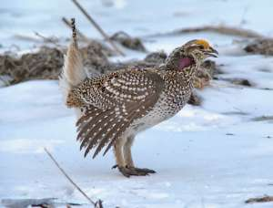 Sharp tail grouse digiscope