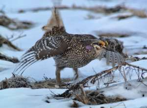 Hunting Sharp Tail Grouse with a Digiscope