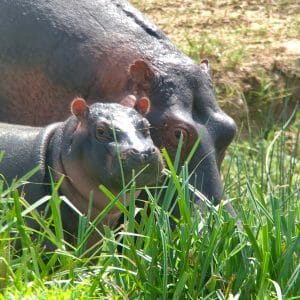 Scoping hippo's with a rifle scope