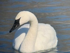 Scoping a Trumpeter Swan