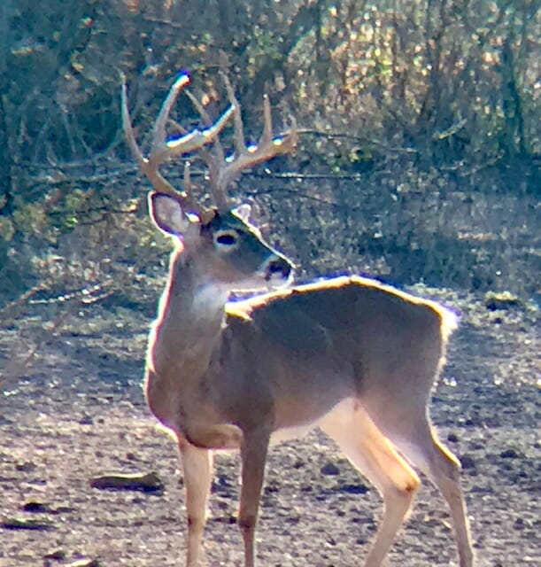 Post-processing images after digiscoping for whitetails allows you to crop for a closer look.