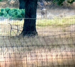 Digiscoping Buck in Hill Country
