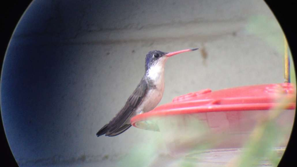 The Paton Center for Hummingbirds | Violet-crowned Hummingbird