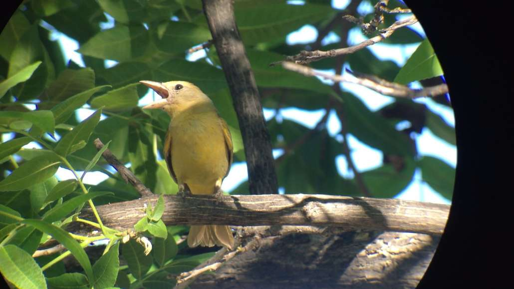 The Paton Center for Hummingbirds | Summer Tanager