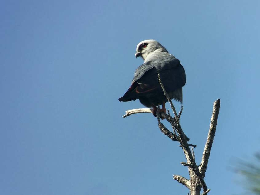 What is a lifer? Plumbeous Kite in Belize